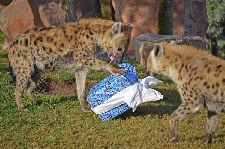 REYES MAGOS 2015 - las hienas descubriendo los regalos - BIOPARC VALENCIA