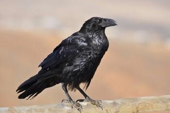 Un joven ejemplar de cuervo. (Foto-Archivo)