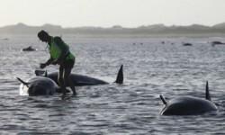 200 ballenas han quedado varadas. (Foto-AFP)