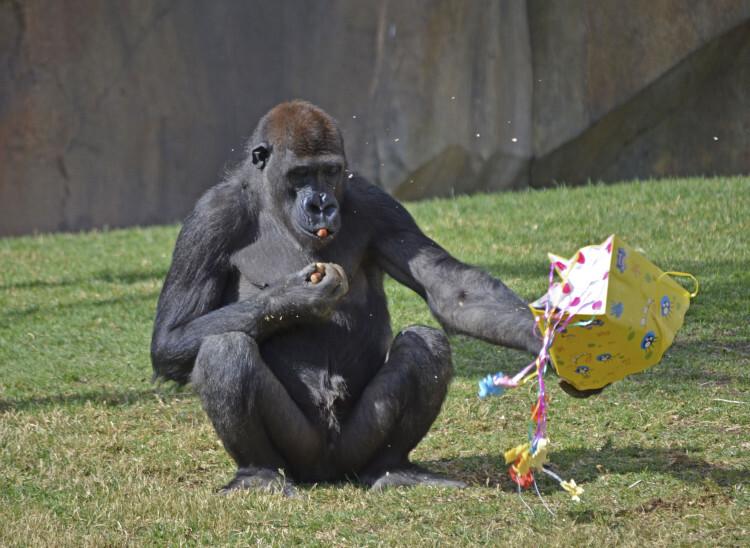 7º aniversario BIOPARC Valencia - el joven gorila Kabuli