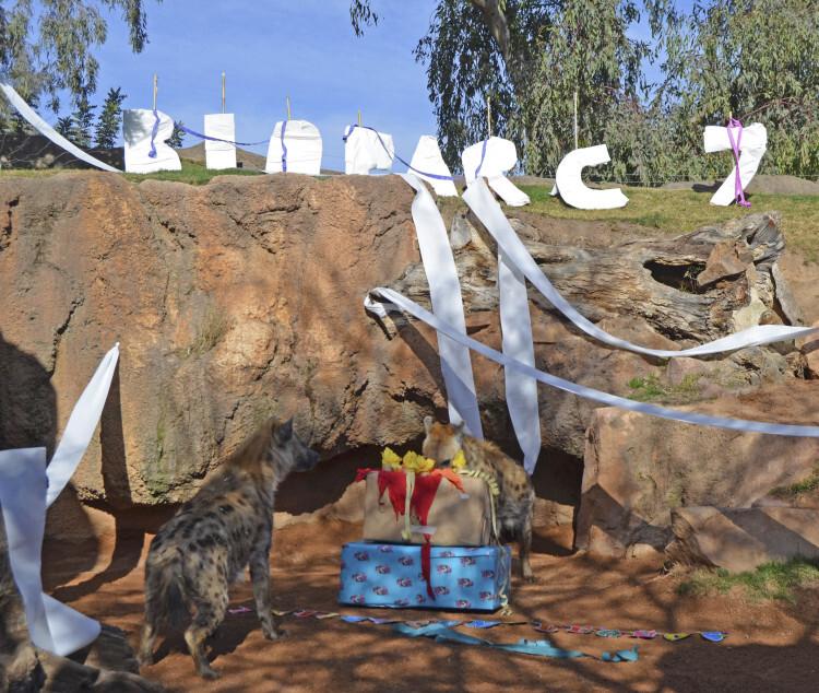 7º aniversario BIOPARC Valencia - hienas descubriendo sus regalos