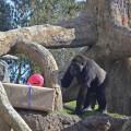 7º aniversario BIOPARC Valencia - la gorila Fossey