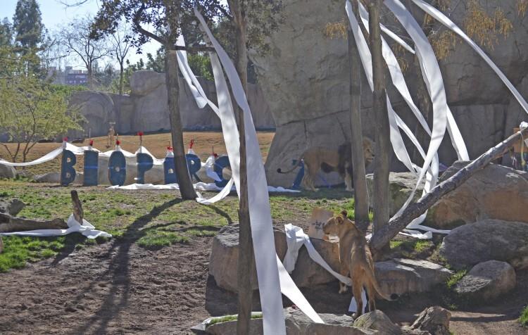 7º aniversario BIOPARC Valencia - leones