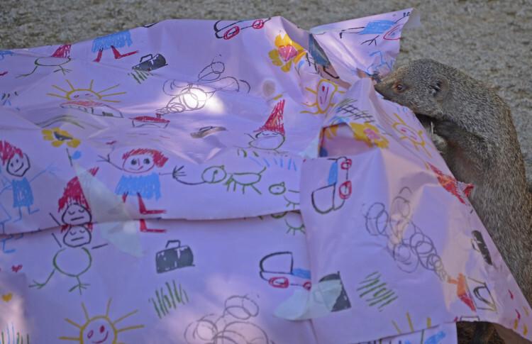 7º aniversario BIOPARC Valencia - mangosta rayada