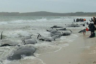 Ballenas varadas que intentan regresar al mar. (Foto.Agenicas)