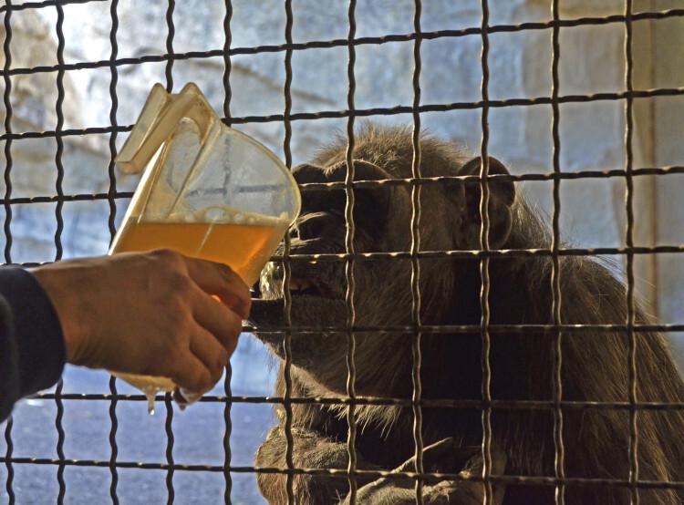 Caldos calientes para combatir el frío - chimpancé en instalación interior de Bioparc Valencia