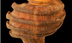 Fosiles-de-15-millones-de-anos-ayudan-a-entender-la-evolucion-de-los-moluscos_image640_