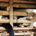 Gatos enjaulados destinados al consumo humano en diversos restaurantes vitnamitas. (Foto-AFP)