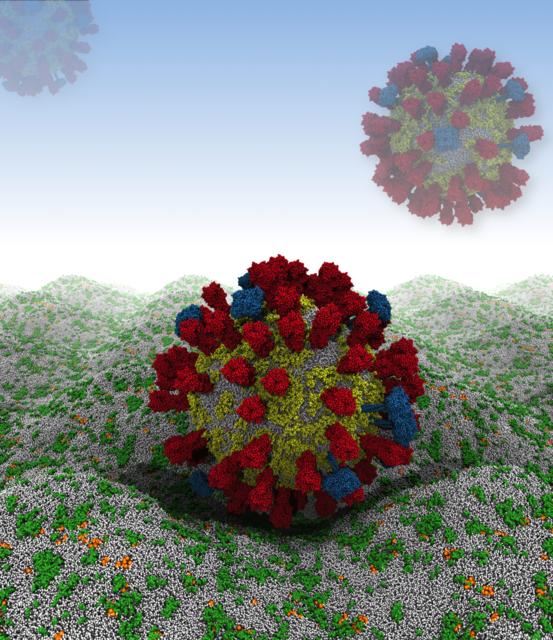 Un-virus-de-la-gripe-virtual-aterriza-en-la-membrana-celular_image640_