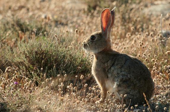 Una-nueva-variante-de-la-enfermedad-hemorragica-de-los-conejos-hace-peligrar-al-lince_image_380