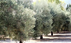 olivosAgricultura destina 8,77 millones de euros a paliar la sequía en cultivos de secano como el olivar