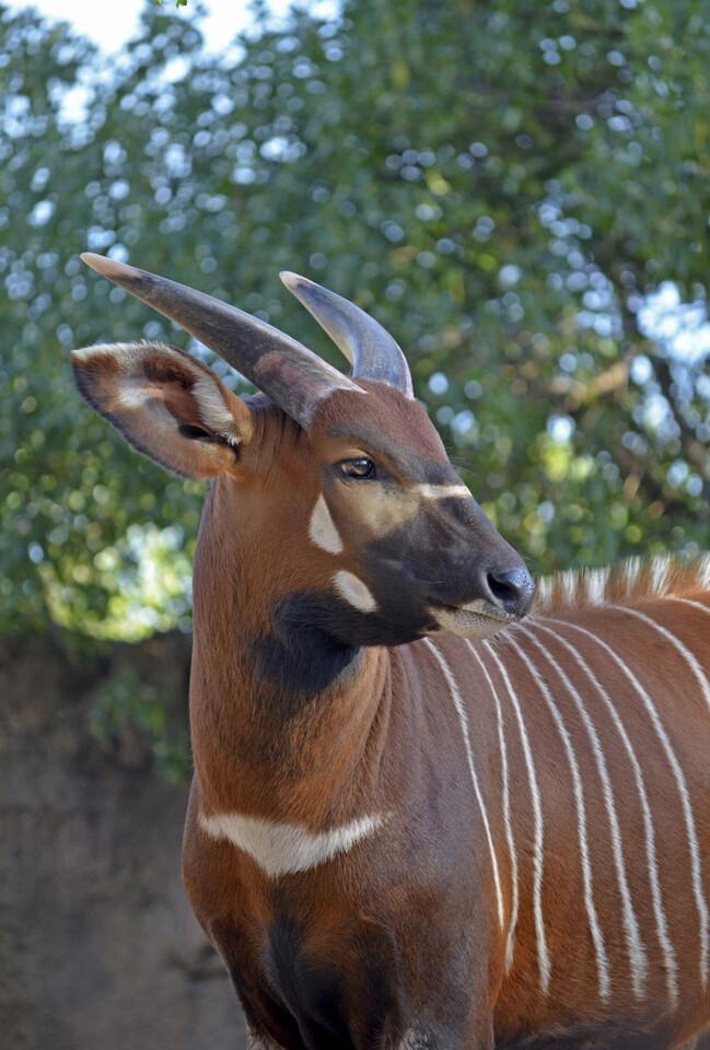 2015 - macho joven de bongo oriental - Bioparc Valencia