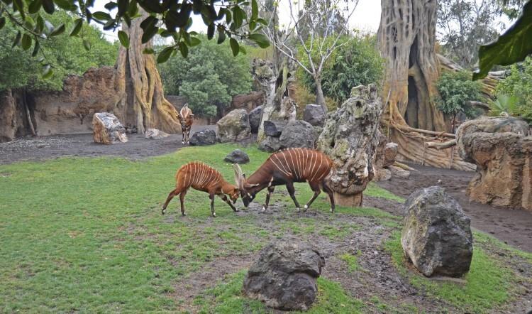 Bongo adulto junto a su cría de 4 meses - bosque ecuatorial - Bioparc Valencia 2014