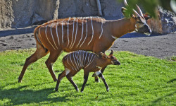 Bongos orientales - madre y cría en Bioparc Valencia - noviembre 2013