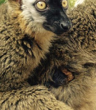 Detalle cría lémur frentirrojo - primavera 2015
