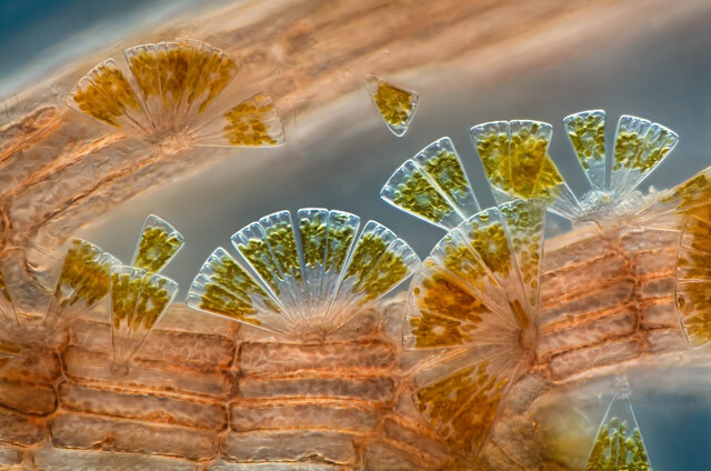 Diatomeas_marinas