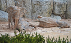 Elefantes jugando en el barro - BIOPARC VALENCIA