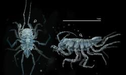 Hallan-una-nueva-especie-de-crustaceo-en-Galicia_image_380