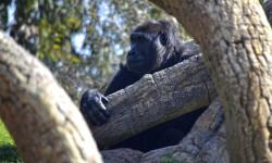 La gorila Nalani descubriendo el bosque ecuatorial de Bioparc Valencia - marzo 2015 (2)