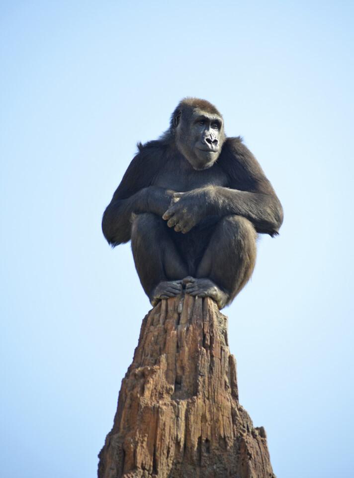 La gorila Nalani descubriendo el bosque ecuatorial de Bioparc Valencia - marzo 2015