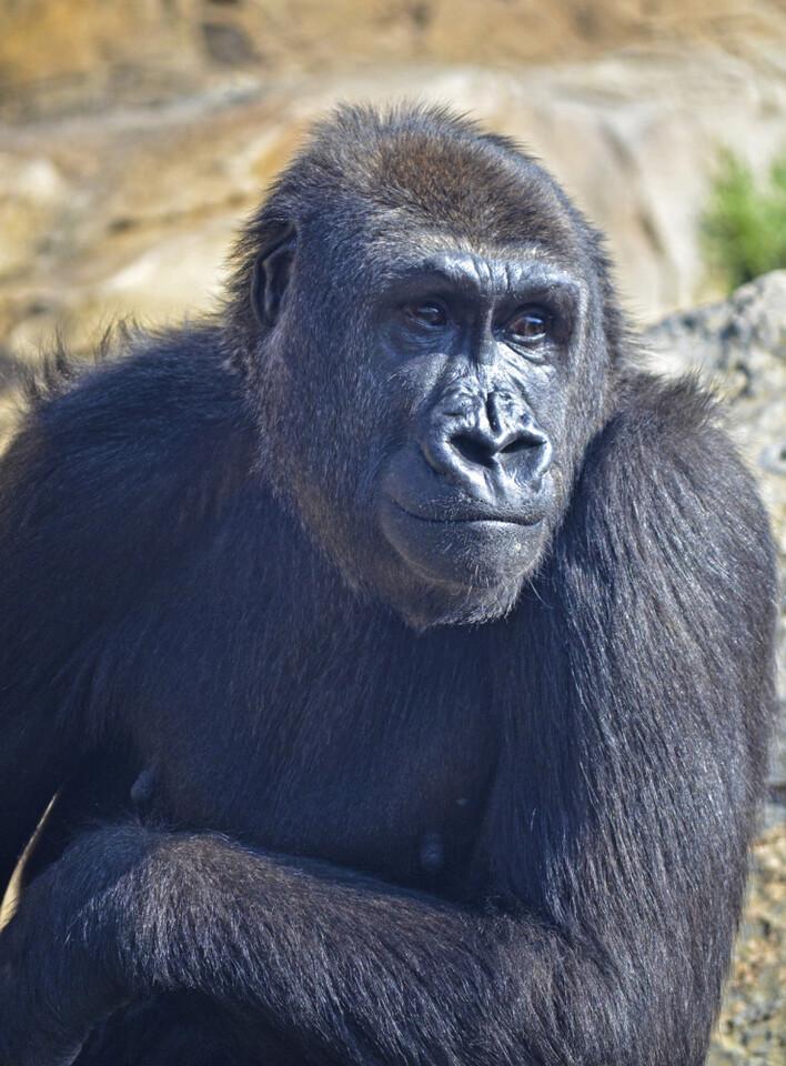 La gorila Nalani - primeros días en el bosque ecuatorial de Bioparc Valencia - marzo 2015