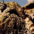 El gato andino (Leopardus jacobita) es uno de los felinos más amenazados del mundo. / Wikipedia