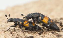 Los-escarabajos-que-practican-mas-sexo-son-mas-inseguros_image_380