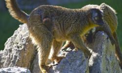 Nueva cría de lémur frentirrojo en la isla de Madagascar de BIOPARC Valencia