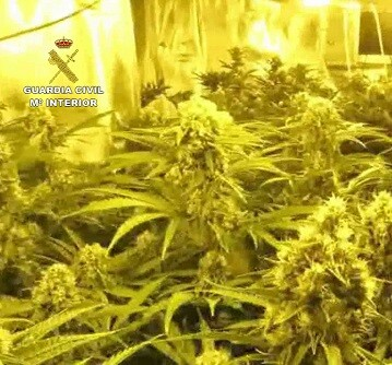 Se realizaba un cultivo intenso de plantas de marihuana.