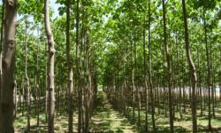 bosque_paulonias