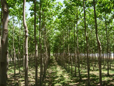 Bosque de paulonias en la Vala d'Uixó. Foto: Infobiomassa