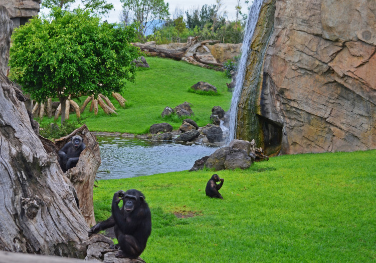 Chimpancés en el bosque ecuatorial - Bioparc Valencia