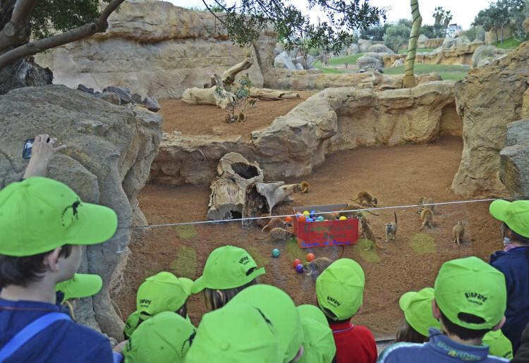 Expedición África Pascua 2015 - escuela de vacaciones de Bioparc Valencia - niños observando a las suricatas