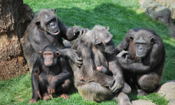 Grupo de chimpancés - Bioparc Valencia