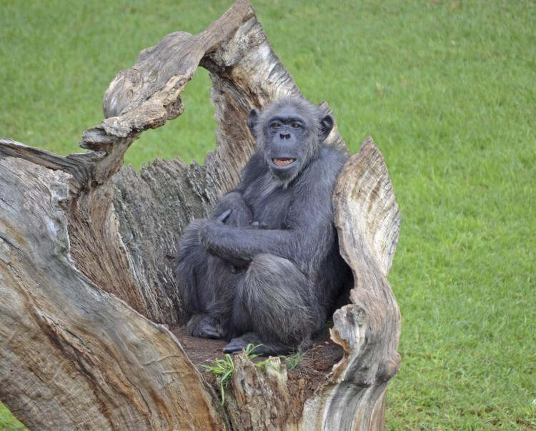 La chimpancé Chispi - Bioparc Valencia - Pan troglodytes troglodytes