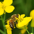 Las-abejas-prefieren-el-nectar-con-pesticidas_image_380