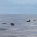 Cetáceos avistados en las costas de Valencia. Foto: UZM (Unidad de Zoología Marina) - Institut Cavanilles de Biodiversitat i Biología Evolutiva - Universitat de València