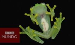 """Científicos descubrieron una especie de rana """"de cristal"""""""