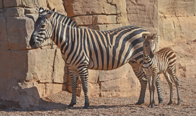 Cebras - madre y cría con 1 día de vida - Sabana africana de Bioparc Valencia