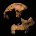 El-Homo-antecessor-ha-llegado-a-su-mayoria-de-edad_image_380