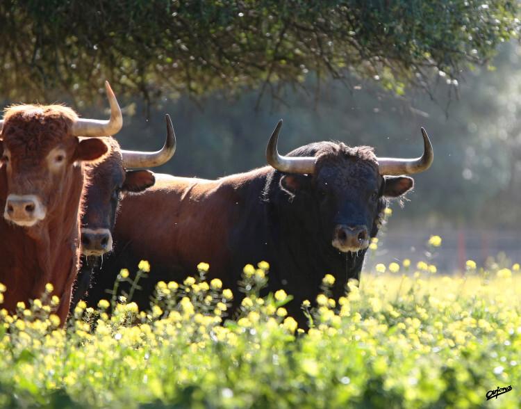 El toro sin barreras_1