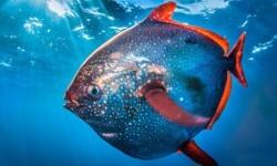Encontraron al primer pez del mundo con sangre caliente