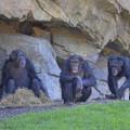 Eva, Noelia y Natalia - chimpancés en Bioparc Valencia - mayo 2015