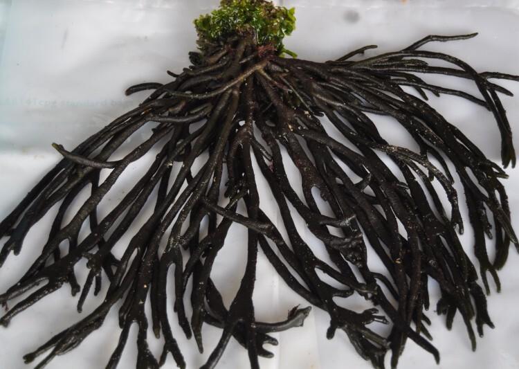 Las algas de la costa portuguesa tienen un gran valor nutricional