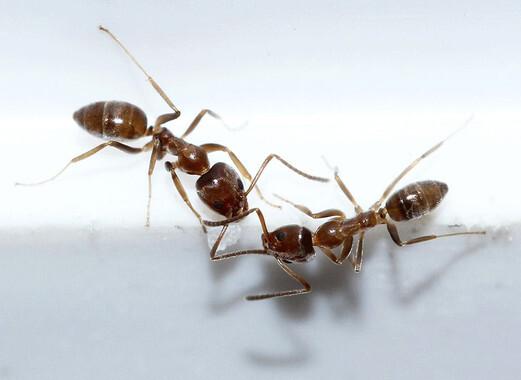 La hormiga argentina (Linepithema humile) se ha convertido en una especie invasora en muchos países, como España, pero es nativa del noreste de Argentina y regiones limítrofes. Detrás de sus movimientos se esconden patrones matemáticos. / Lek Khauv