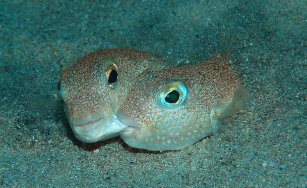 Un-pez-de-nidos-circulares-y-una-arana-acrobata-en-el-Top-10-de-nuevas-especies_image_380