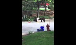 Dos pequeños osos se pelean por un cubo de basura