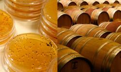 A la izquierda, cultivo de levaduras en placas de Petri en el laboratorio del Instituto de Ciencias de la Vid y el Vino. A la derecha, barriles en La Grajera, bodega institucional de La Rioja./ Comunicación CSIC