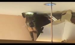 Un jabalí se cuela en un centro comercial chino y causa destrozos