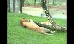 Un león toca la hierba por primera tras pasar 13 años en una jaula